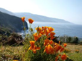 Poppies found along the Big Sur coastline